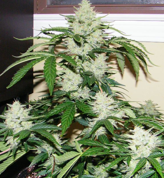 Lowlife White Widow Outgrow under 400 Watts